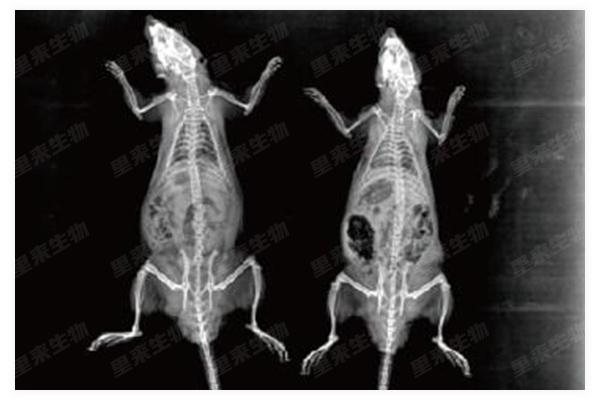 大鼠X光-正位